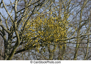 Mistletoe,  Viscum album, Gloucestershire