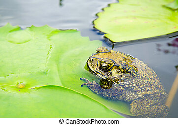 Yellow toad with lotus leaf - A toad resting on a lotus leaf