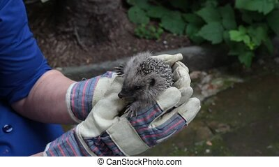 hedgehog - hands holding a small european hedgehog