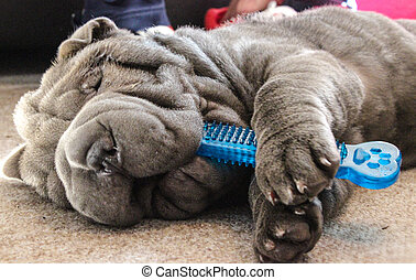 Shar Pei playing with a chew toy