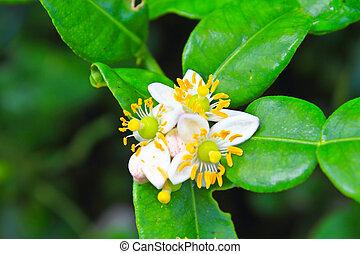 Flower of bergamot fruits on tree in garden