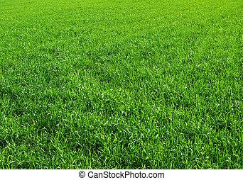 grass field - Green grass texture from a  field