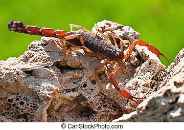 Scorpio Madagascar (Grosphus flavopiceus)