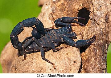 Scorpio Madagascar (Grosphus grandidieri)