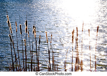 Cattails - An assortment of Cattails in a wet marxh area.