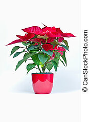 christmas flower - poinsettia. christmas flower on white...