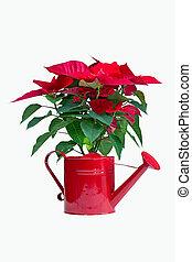 christmas flower - poinsettia christmas flower on white...