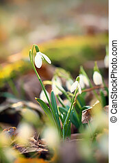 Snowdrops Galanthus nivalis in a floodplain forest