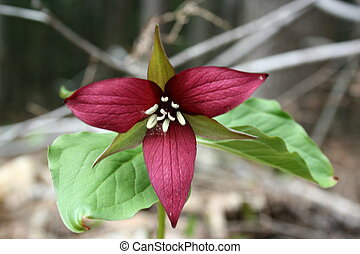 trillium growing in field in springtime