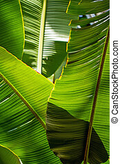 Banana leaf backlit sun - background