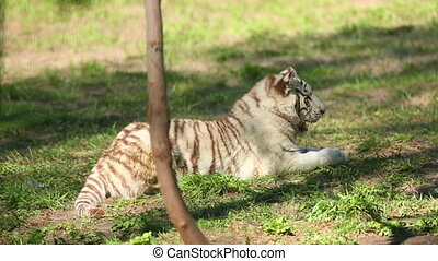 White tiger - Young white tiger kying in the grass in the...