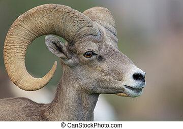 Desert Bighorn Sheep Ram - a close up portrait of a desert...