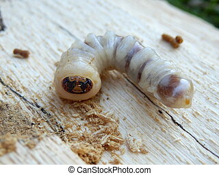 Round Headed Borer - Face of a Round Headed Borer...