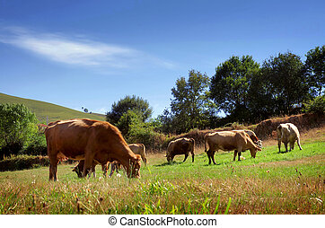 Bovine Cattle - Countriside landscape with bovine cattle...