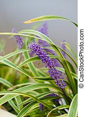 Lavander flowers - Bright flowers of Lavander plant in the...