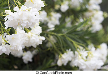 oleander flowers - Background with white oleander flowers