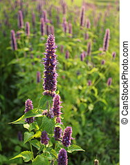 Blooming flower giant hyssop