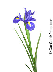 Blue Iris Flower - Blue iris flower isolated over white...