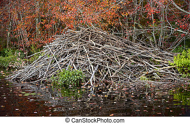 beaver dam in an autumn forest - beaver dam in nature in an...