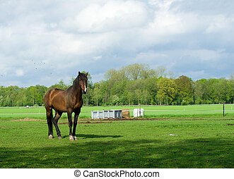 horse in meadow - large brown horse in a dutch meadow