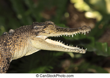 Saltwater Crocodile - A sub adult saltwater crocodile,...