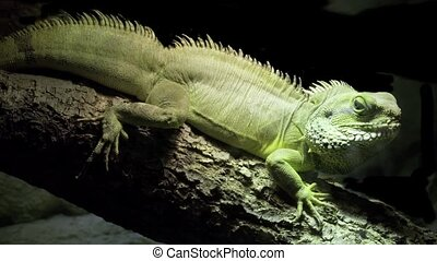 Green Iguana - Common Green Iguana at the Dark Background