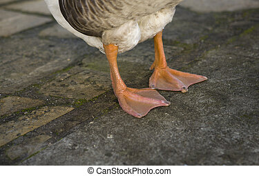 Goose Paws detail - Funny goose with look of sly rogue is...