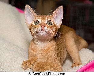 Abyssinian kitten - Red abyssinian kitten lying on pillow