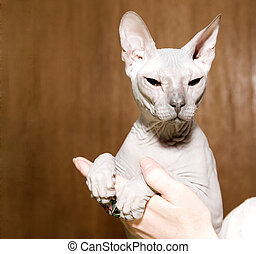 Sphinx hairless cat - White sphinx hairless cat in hands