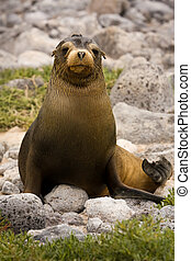 Juvenile Galapagos sea lion Zalophus wollebaeki - Joung...