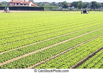 intensive cultivation of salad