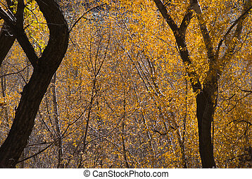 Autumn Lace - Golden leaves in woods near Bowie, Colorado