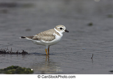 Piping plover, Charadrius melodus, single bird standing by...