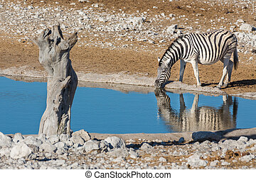 Zebra at waterhole - Closeup view of single zebra at...
