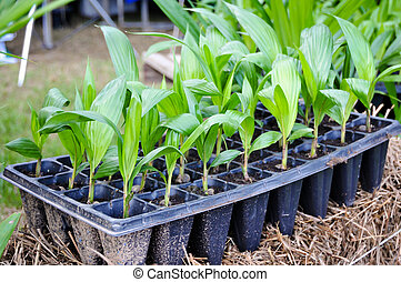 Seedlings of oil palm . For agriculture in tropical areas of...