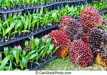 Seedlings of oil palm For agriculture in tropical areas of...