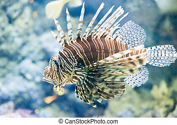 Red firefish - Pterois volitans