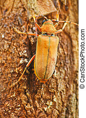 Long Horned Beetle on tree, Megopsis sp. in nature