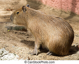 Capybara  - Close up of a Capybara