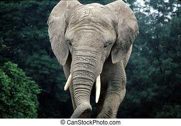 Indian Elephant G-1091 - The Asian or Asiatic Elephant...
