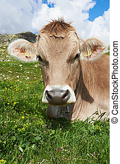 Brown cow on green grass pasture - milck cow with grazing on...