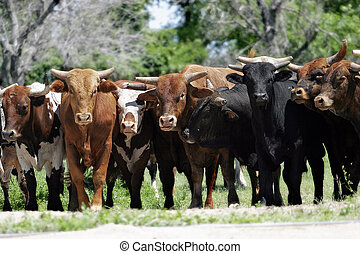 Real Bull Market - A line of bulls stand together beside a...