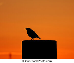 Meadowlark silhouette - Silhouette of a meadowlark on a farm...