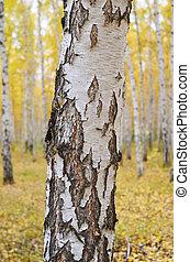 birch tree against autumn forest