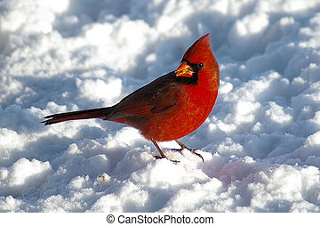 cardinal - reb bird on a snowy day