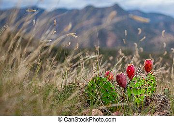 Cactus - Prickly Pear Cactus