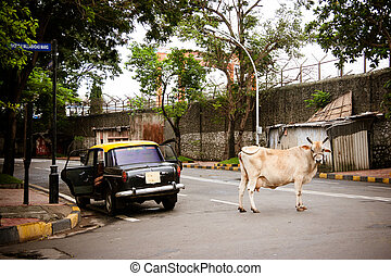 Mumbai Street Scene - A cow stands next to a taxi in a...