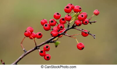 Mature nice red hawthorn berries (crataegus monogyna)