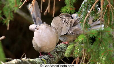 Eurasian Collared Dove couple self cleaning