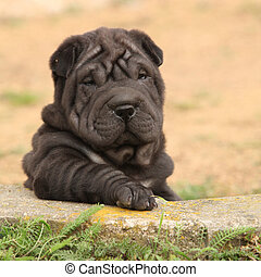 Adorable Shar Pei puppy in the garden - Adorable Shar Pei...